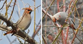 Bohemian Waxwing - Whiting Road Nature Preserve - © Eunice Thein - Feb 24, 2017