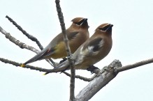 Cedar Waxwing - Whiting Road Nature Preserve - © Candace Giles - Feb 24, 2017