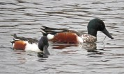 Northern Shoveler - North Ponds Park - © Eunice Thein - Mar 01, 2017