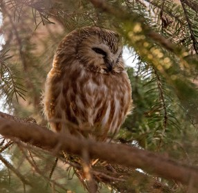 Northern Saw-whet Owl - Owl Woods - © Zaphir Shamma - Mar 03, 2017
