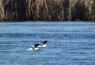 Common Merganser - Buck Pond - © Eunice Thein - Mar 08, 2017