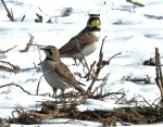 Horned Lark (F/M) - Avon - © Eunice Thein - Mar 17, 2017