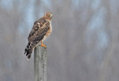Northern Harrier (F) - Braddock Bay Park - © Dick Horsey - Mar 19, 2017