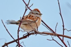 American Tree Sparrow - Braddock Bay Park - © Dick Horsey - Mar 19, 2017