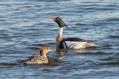 Red-breasted Merganser - Irondequoit Bay Outlet - © Brett Hoffman - Mar 23, 2017