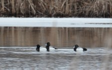 Greater Scaup - Braddock Bay Park - © Dick Horsey - Mar 24, 2017