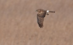 Northern Harrier (F) - Braddock Bay Park - © Dick Horsey - Mar 24, 2017