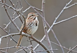 Song Sparrow - Tinker Nature Park - © Dick Horsey - Mar 26, 2017