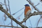 Eastern Bluebird - Burger Park - © Dick Horsey - Mar 29, 2017