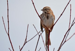 Song Sparrow - Burger Park - © Dick Horsey - Mar 29, 2017