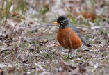 American Robin - North Ponds Park - © Dick Horsey - Apr 05, 2017
