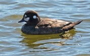 Harlequin Duck (F) - Irondequoit Bay Outlet - © Dick Horsey - Apr 08, 2017