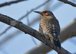 Northern Flicker - Beatty Point - © Dick Horsey - Apr 09, 2017