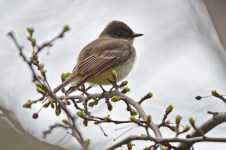 Eastern Phoebe - Hamlin Beach Park - © Dick Horsey - Apr 11, 2017