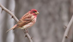 Purple Finch - Reinstein Woods - © Dana Kalir - Apr 13, 2017