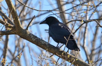 American Crow - Mendon Ponds - © Dick Horsey - Apr 17, 2017