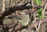 Ruby-crowned Kinglet - Mendon Ponds - © Dick Horsey - Apr 17, 2017