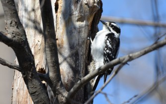 Downy Woodpecker (F) - Lakeview Community Church Trail - © Dick Horsey - Apr 18, 2017
