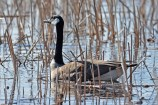 Canada Goose - Lakeview Community Church Trail - © Dick Horsey - Apr 18, 2017