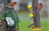 American Goldfinch and Purple Finch - Webster - © Peggy Mabb - Apr 19, 2017