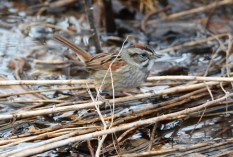 Swamp Sparrow - LaSalle Landing Park - © Dick Horsey - Apr 20, 2017