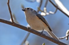 Tufted Titmouse - Cobbs Hill - © Dick Horsey - Apr 24, 2017