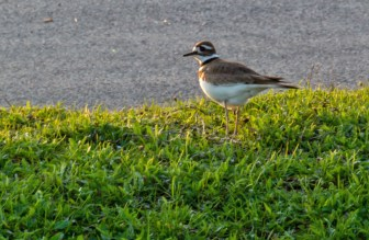 Killdeer - Summerville Pier - © Vern Lindberg - Apr 24, 2017