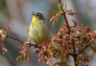 Palm Warbler - Webster - © Peggy Mabb - Apr 24, 2017