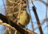 Ruby-crowned Kinglet - Webster - © Peggy Mabb - Apr 24, 2017
