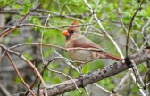 Northern Cardinal (F) - Irondequoit - © Candace Giles - Apr 25, 2017