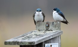 Tree Swallow - Montezuma NWR - © Dick Horsey - Apr 26, 2017
