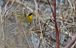 Common Yellowthroat - Lakeview Community Church Trail (RBA field trip) - © Dick Horsey - Apr 29, 2017