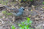 White-crowned Sparrow - Rochester - © Vern Lindberg - Apr 29, 2017