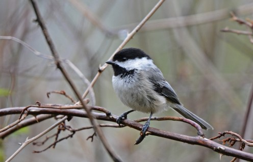 Black-capped Chickadee - Four Mile Creek Preserve (RBA field trip) - © Dick Horsey - Apr 30, 2017