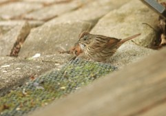 Lincoln's Sparrow - Greece - © Kimberly Sucy - Apr 30, 2017