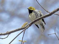 Black-throated Green Warbler - Cobbs Hill (RBA Field Trip) - © Candace Giles - May 03, 2017