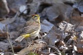 Palm Warbler - Lakeview Community Church Trail - © Dick Horsey - May 03, 2017