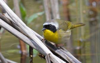 Common Yellowthroat - Durand Eastman Park - © Dick Horsey - May 10, 2017