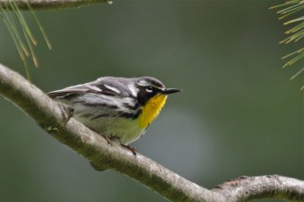 Yellow-throated Warbler - Ellison Park - © Jeanne Verhulst - May 11, 2017
