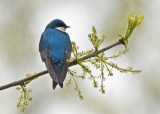 Tree Swallow - High Acres Nature Area - © Dick Horsey - May 12, 2017