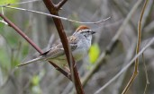 Chipping Sparrow - High Acres Nature Area - © Dick Horsey - May 12, 2017