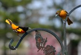 Baltimore Oriole (M/F) - Webster - © Peggy Mabb - May 12, 2017