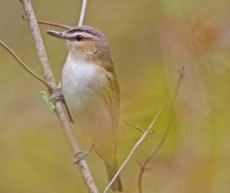Red-eyed Vireo - Island Cottage Woods - © Shawn Cappiello - May 16, 2017