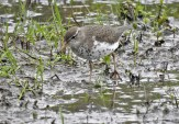 Spotted Sandpiper - Ellison Park - © Candace Giles - May 19, 2017