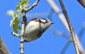 Chestnut-sided Warbler - Manitou Beach Preserve (RBA field trip) - © Candace Giles - May 20, 2017