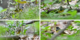 Mourning Warbler - Cobbs Hill - © Dick Horsey - May 21, 2017