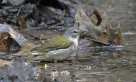Tennessee Warbler - Cobbs Hill - © Dick Horsey - May 22, 2017