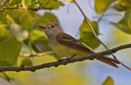 Great Crested Flycatcher - Lakeview Church Trail - © Dick Horsey - May 24, 2017