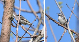 Blackpoll Warbler - Lakeview Church Trail - © Dick Horsey - May 24, 2017