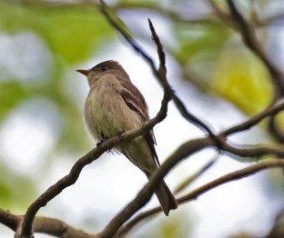 Eastern Wood-Pewee - Firehouse Woods - © Shawn Cappiello - May 24, 2017